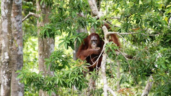 orang outan in tree