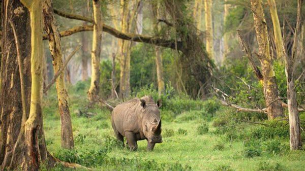 one-horned Javan rhinoceros, jungle, forest