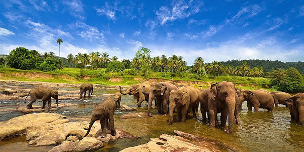 elephant drinking in river